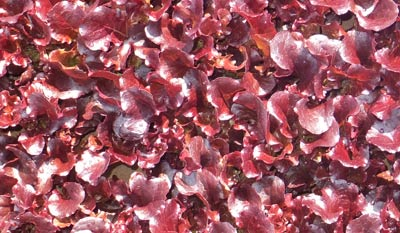 Baby Red Lettuce