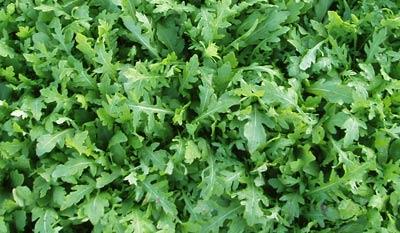 wild rocket leaf benefits