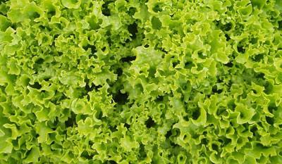 Whole Head Lettuce