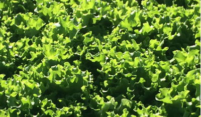 Baby Green Batavia